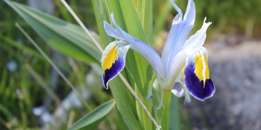 Iris warleyensis observé dans la région de Samarkand, Ouzbékistan © Улугбек Кодиров / iNaturalist