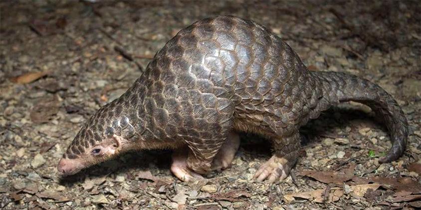 Photo de pangolin (Manis pentadactyla subsp. pentadactyla) prise par ihenglan et publiée par GBIF.org via iNaturalist Research-grade Observations
