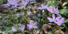 Beauté printanière de Virginie Claytonia virginica