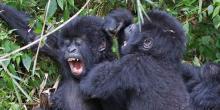 Gorilles de montagne Gorilla beringei © Laura Keene iNaturalist