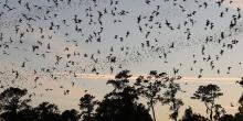 Tadarida brasiliensis Chauve-souris à queue libre du Brésil